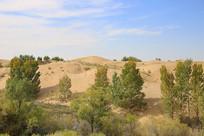 沙漠治理绿树成活