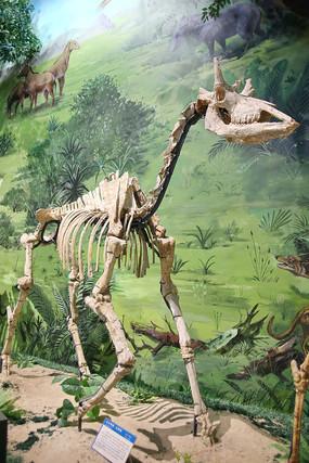山西兽古长颈鹿化石