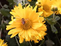 飞舞着采花蜜的小蜜蜂
