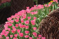 粉红郁金香花丛花带