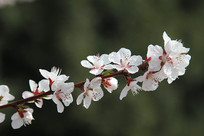 粉色樱花花枝绽放