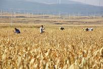 谷子小米地劳作的农民
