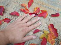 红枫叶大手素材