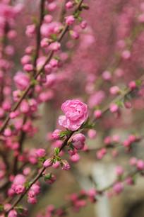 红梅花海花林