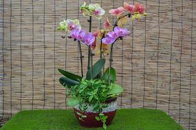 蝴蝶兰盆栽展示