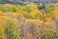 金色秋林原始森林