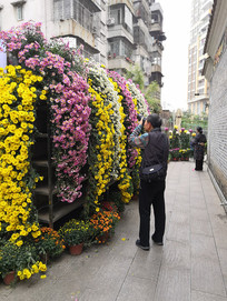 菊花墙边拿着单反摄影的男人