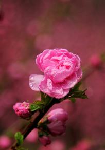 浪漫梅花花苞花枝