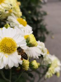蜜蜂采菊花蜜