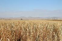 农作物谷子小米地