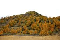 森林秋色五彩松林