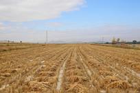 收割中的庄稼小米地