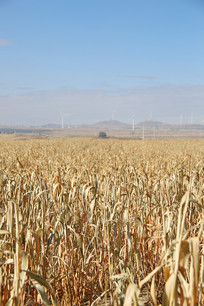 五谷杂粮小米庄稼地
