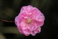 绽放的梅花花朵
