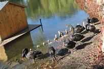 黑天鹅池塘