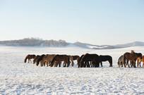 肯草的马群