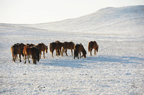 雪地觅食的马群
