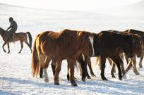 雪地上的马群