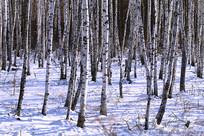 白桦林冰雪景观