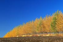 黑土地防护林秋色