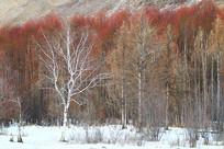 红柳树林冰雪景观