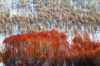 林海雪原红柳树林