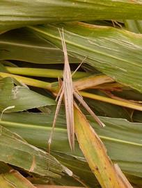 玉米地里的蚂蚱