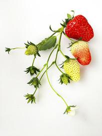 采摘青草莓