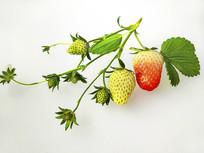 鲜果青草莓