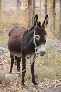 白唇黑毛驴