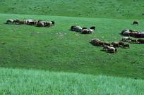 抱团吃草的羊群