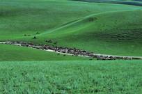 草原上的羊群