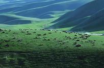 漫山遍野的羊