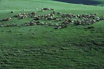 散开的羊群