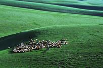团团围住的羊群