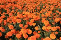 万寿菊花丛