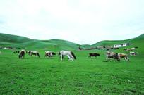 吃草的牛群