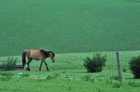 低头行走的马