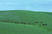 山坡上的马群