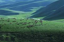 散养的羊群