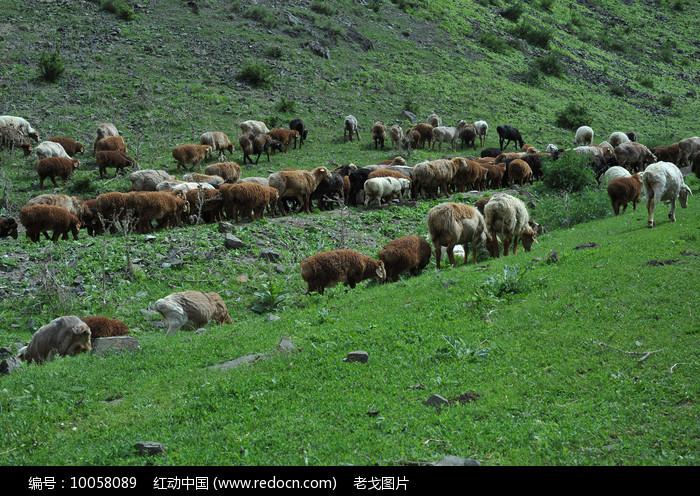成群的羊图片