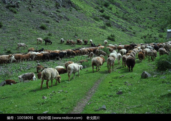 山坡羊群图片