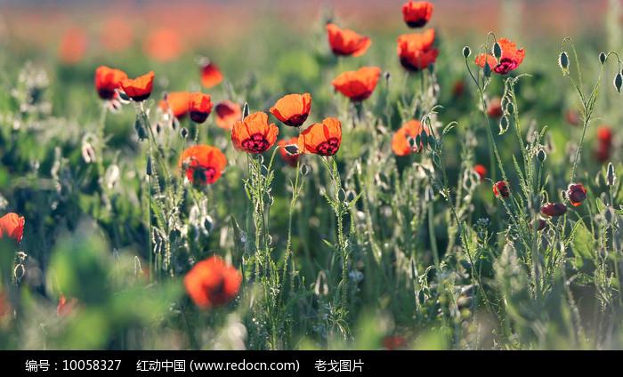 天山红花图片