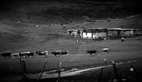 黑白种牛场