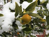 桔子特写雪地