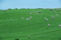 山坡下羊群
