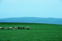 天山脚下羊群