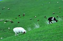 白羊与黑羊