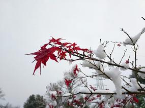 雪中红枫素材