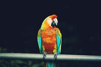 站立的鹦鹉